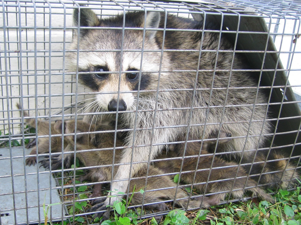 Image of: Rat Youtube Jacksonville Florida Raccoon Trapping Removal And Control