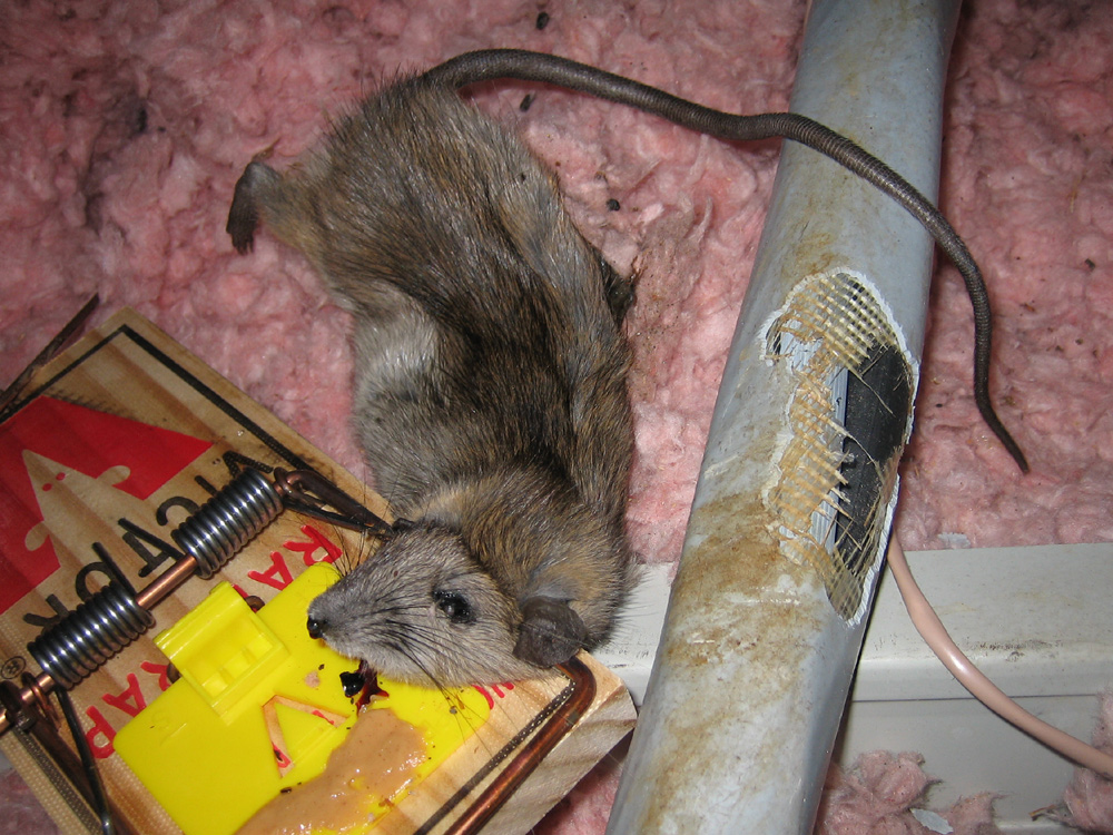 Jacksonville Florida Rat Mouse Trapping Removal And Control
