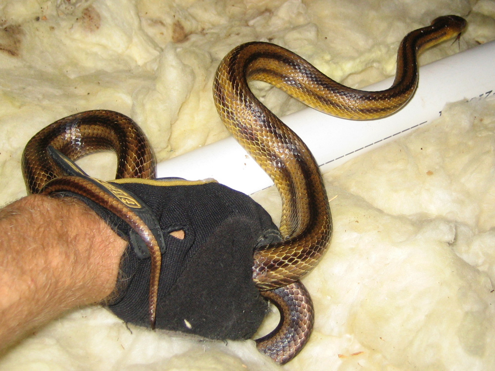 Jacksonville Florida Snake Trapping Removal And Control