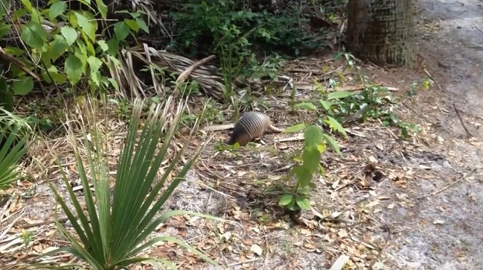 Are Armadillos Dangerous to Pets?